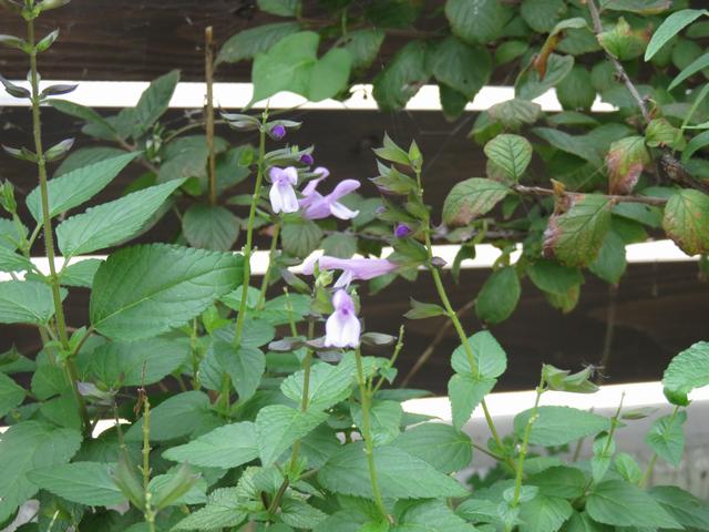 薄紫色のサルビアの花