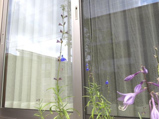 コバルトセージの花