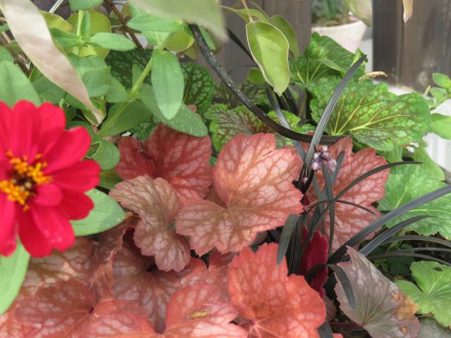 赤いヒューケラとショッキングピンクのジニアの画像