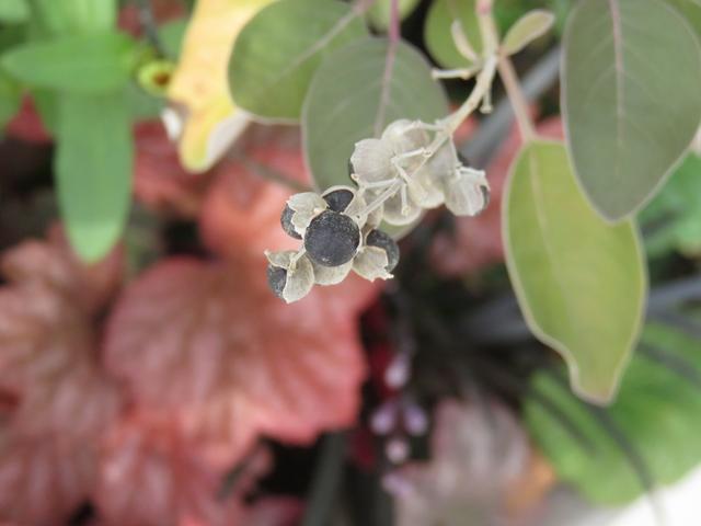 ミツバハマゴウの黒い種