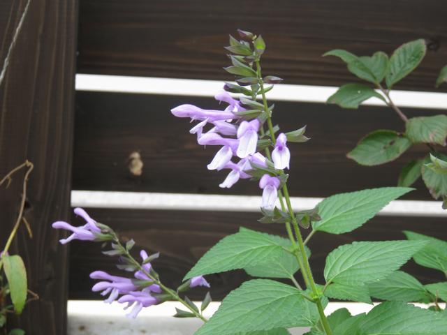 サルビア・イパネマの花