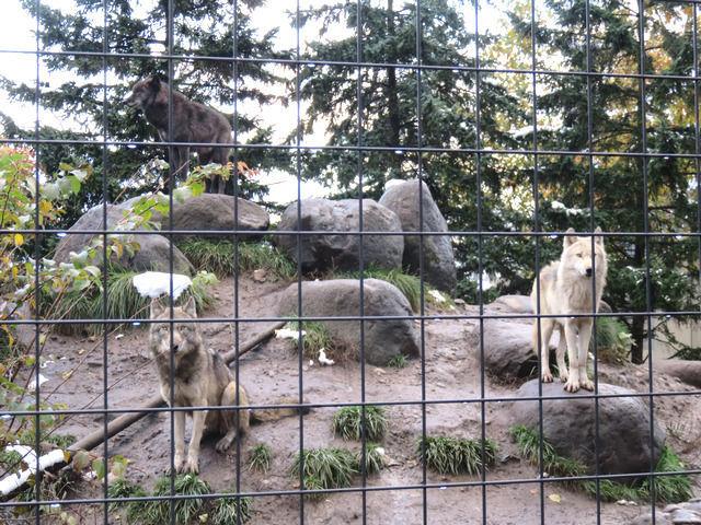 シンリンオオカミの群