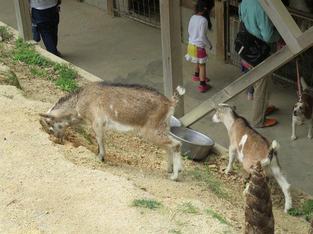渋川動物公園の園内を歩く子ヤギ