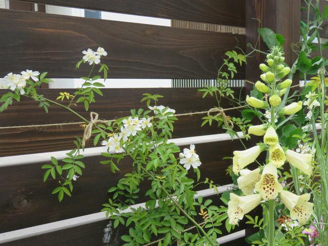 白一重モッコウバラの花