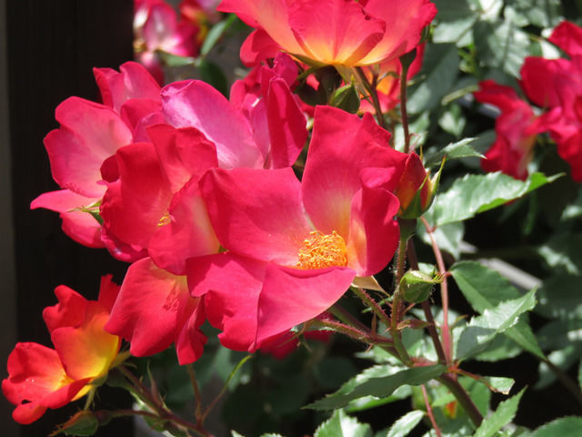 開き切ったバラ カクテルの花