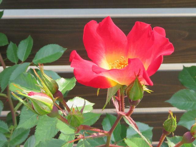 バラ カクテルの花