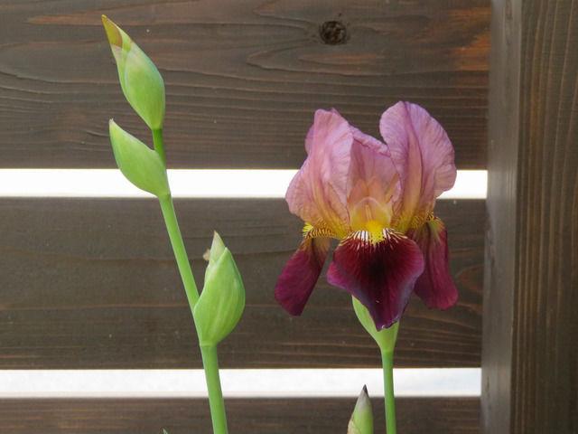 アズキ色のジャーマンアイリスの花