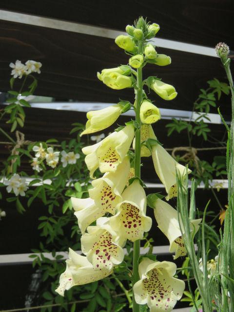 ジギタリスパムズチョイスの花
