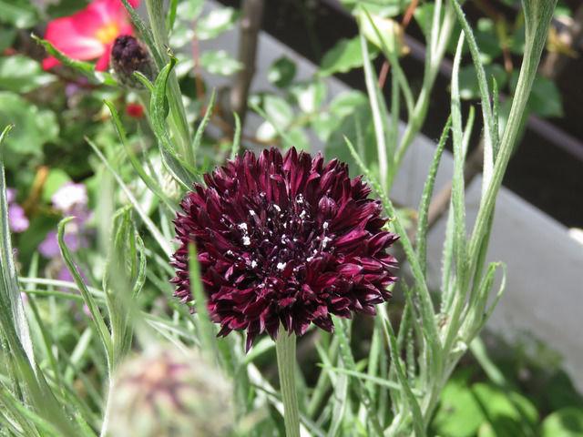 セントーレアブラックボールの花