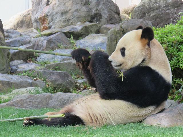 アドベンチャーワールドのパンダの昼食