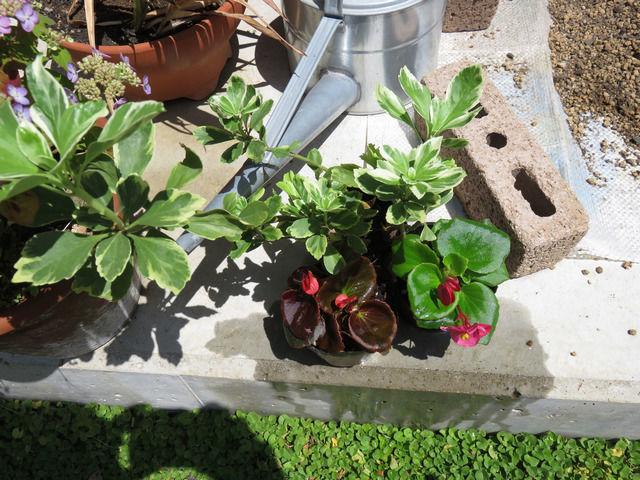 購入した斑入りフッキソウの苗と景品のベゴニアの苗