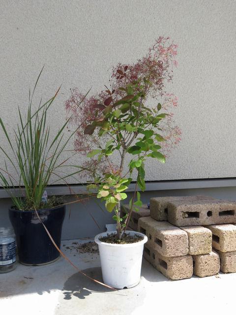 スモークツリーの苗木の画像