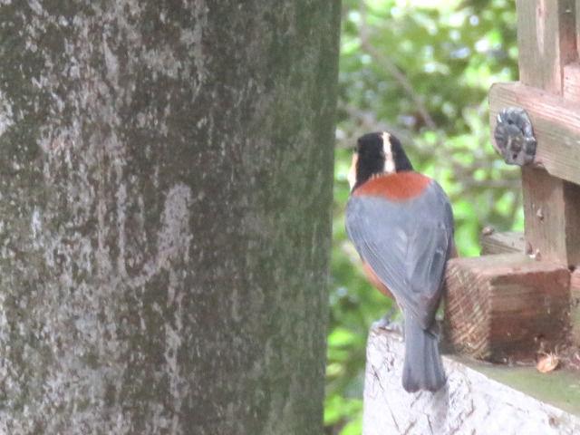 金刀比羅宮にいる野鳥ヤマガラ