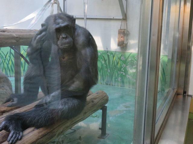 わんぱーくこうちの間近に見られるチンパンジー