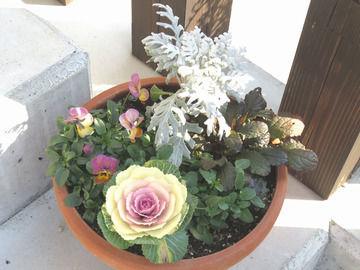 クリスマス兼正月の寄せ植え シロタエギク・ミニ葉牡丹・ビオラ・アジュガ