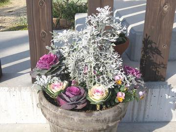 クリスマス兼正月の寄せ植え シロタエギク・ミニ葉牡丹・ビオラ