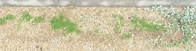 種蒔き後2か月半のダイカンドラ