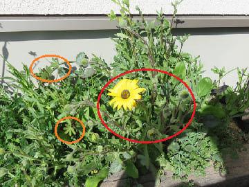 ディモルフォセカの花