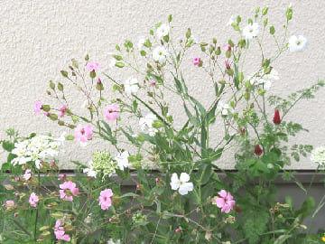 サポナリア・バッカリアの花