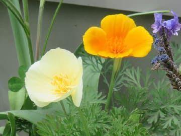 カリフォルニアポピーの花