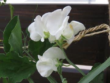スイートピー白花