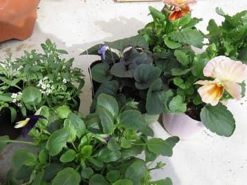 購入した冬の花の苗