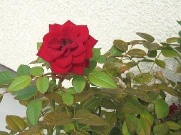 秋の花を付けたミニバラ