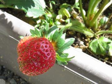 プランターで育ててできた四季なり苺の実