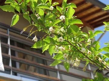 花が咲いているエゴノキを下から見上げた画像