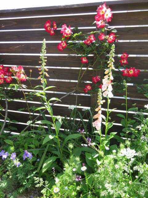 開花したジギタリスの画像