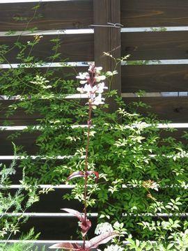 ペンステモンハスカーレッドの開花
