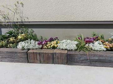ビオラとスイートアリッサムの花壇