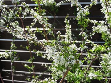 八分咲きのユキヤナギの枝