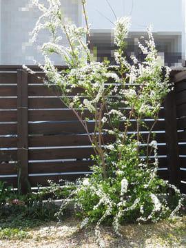 七分咲きのユキヤナギの花