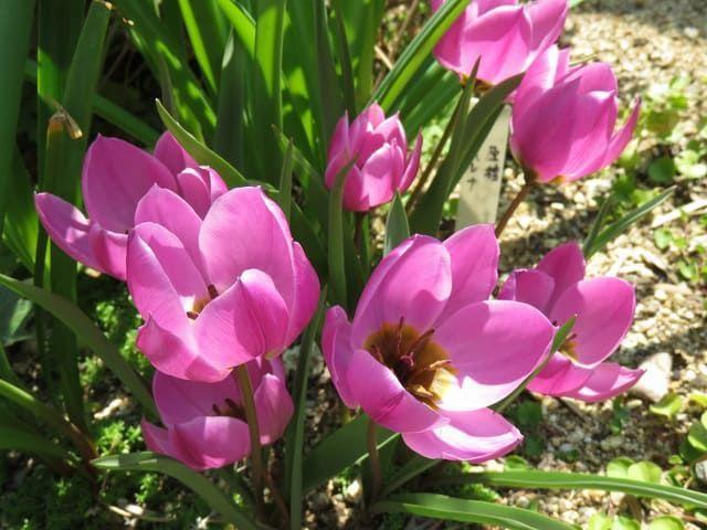 原種チューリップ ヘレナのピンクの花