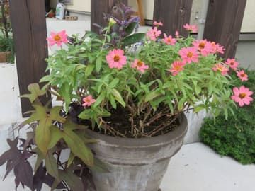 ミツバハマゴウプルプレアとピンクのジニアの寄せ植え