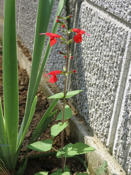 真っ赤なサルビアの花