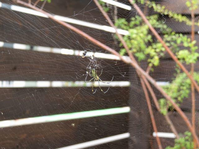 庭に巣をかけたジョロウグモの画像