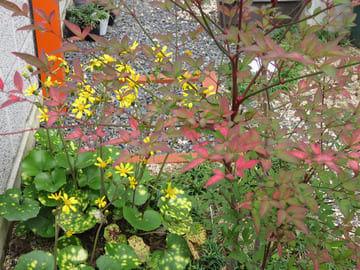 紅葉したナンテンとツワブキの黄色い花の画像