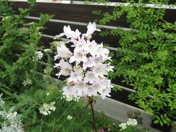 ペンステモン'ハスカーレッド'の花