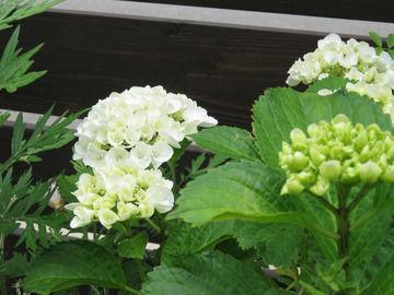 アジサイ'シュガーホワイト'の花