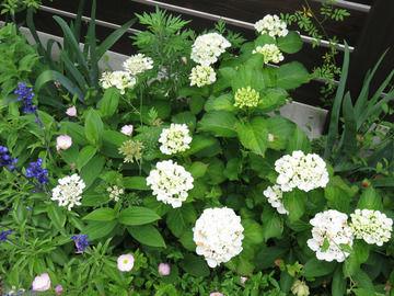 アジサイ'シュガーホワイト'の花の全体