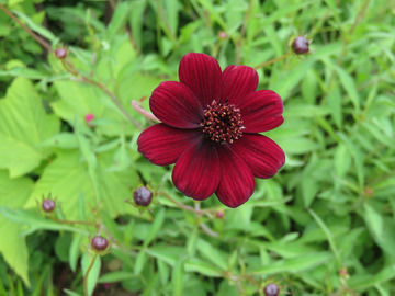 チョコレートコスモスの花