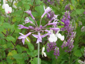 ツルバキア・シルバーレースの花
