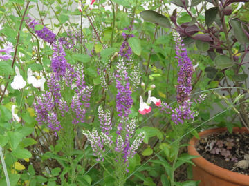 ベロニカ ムルチフローラ バイカラーエクスプローションの花