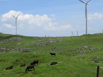 天狗高原 放牧中の牛