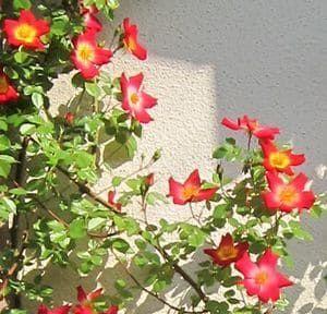カクテルの花