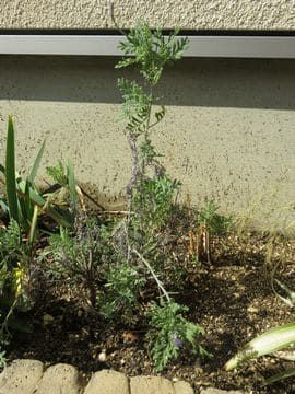 花壇のラベンダー