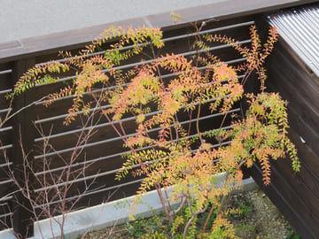 紅葉するユキヤナギ