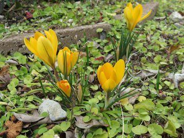 黄色いクロッカスの写真